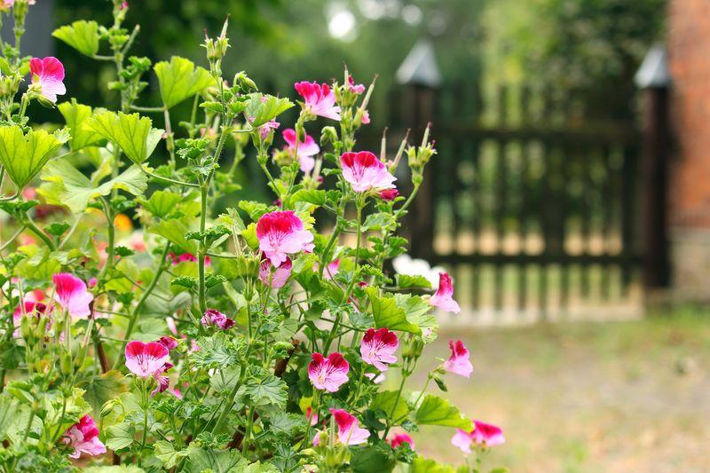 Blumen vor dem Gartentor im Sonnenschein
