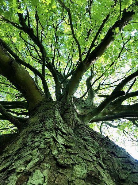 Blick vom Boden aus auf den Baumwipfel eines großen Kastanienbaums bei Sonnenschein